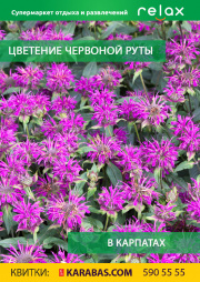 Flowering of the red rue in the Carpathians